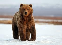 Человеческая еда мешает медведям спать зимой