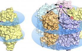 Биофизики расшифровали подлинную структуру оптогенетического белка — родопсина KR2