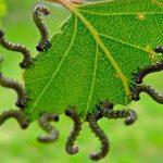 Вредители склоняют растения к самоопылению
