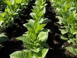 Улучшенный фотосинтез не всегда улучшает урожай