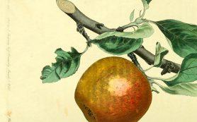 Бактерии — жители органических яблок оказались полезнее «населения» обычных