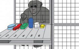 Рабочая память шимпанзе похожа на нашу