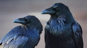 Вороны радуются от ума