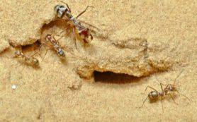 Немецкие ученые обнаружили самого быстрого в мире муравья