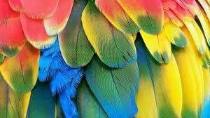 Чем ярче перья, тем лучше всем