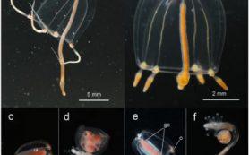Биологи МГУ описали случай зарождающегося видообразования у гидромедуз