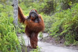 Приматы могли встать на задние ноги раньше, чем считается