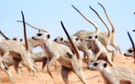 Сурикаты исполняют «танец войны», чтобы защитить свою территорию