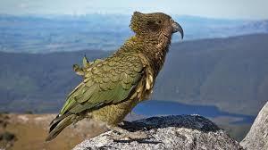 Новозеландские попугаи вычисляют вероятности