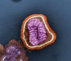 Чезмерная реакция иммунитета  на вирус зависит от обмена веществ