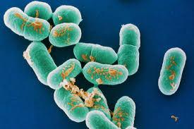У пищевой бактерии раскрыли патогенный секрет