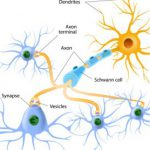 Роль молекулярных шаперонов в развитии нейронов
