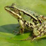 Съедобные лягушки управляют своим геномом