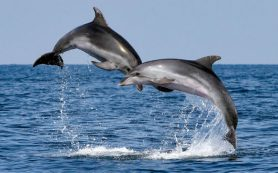 Дельфины устанавливают между собой график охоты