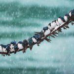Изменение климата загнало древесных американских ласточек в экологическую ловушку