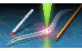 Японские ученые измеряют температуру червей с помощью наноалмазов