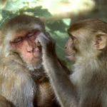 Старые шимпанзе ценят взаимную дружбу
