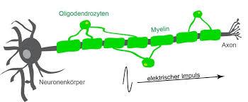 Электроизолирующие клетки помогают мозгу слышать