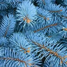Голубой цвет елям придают нанотрубки