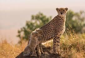 Гепардов развели с африканскими фермерами