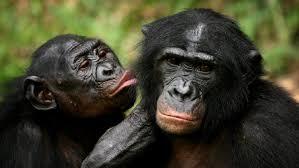 Шимпанзе возвращаются к прерванному разговору