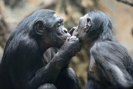 Взрослые шимпанзе остаются маменькиными сынками