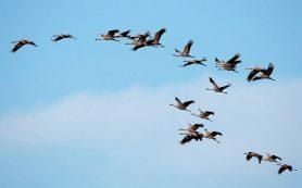 У птиц обнаружено умение экстраполировать свое положение на магнитной карте Земли