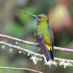 В удлинении цветков завезенных в Америку наперстянок обвинили колибри