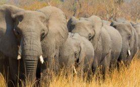 В Ботсване по неизвестным причинам массово гибнут слоны
