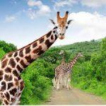 Почему жирафы не болеют сердцем