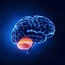 Мозжечок помогает переваривать спирт