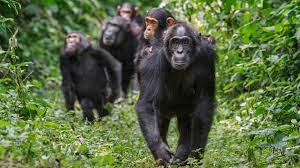 У обезьян нет культуры