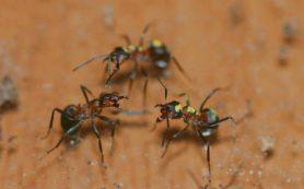 Ученые исследуют распределение поведенческих черт и когнитивных функций в колониях муравьев