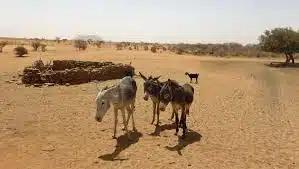 Дикие ослы спасают от жажды пустынных животных