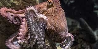 Самки австралийских осьминогов швырнули ил в назойливых ухажеров
