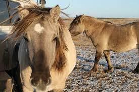 Древние лошади ходили по Берингийскому мосту туда и обратно