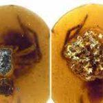 В бирманском янтаре обнаружили паучиху с яйцевым коконом и паучат