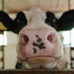 Коровьи микробы расщепляют пластик