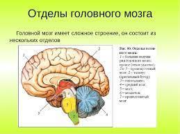 Как мозг управляет чиханием