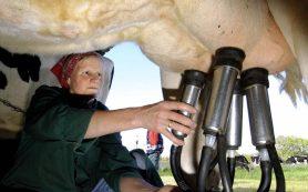 Вредит ли использование доильного аппарата корове?