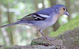 Орнитологи восстановили историю заселения зябликами Макаронезии и разделили их на пять видов