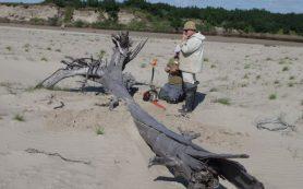 Ученые УрО РАН и УрФУ собрали более тысячи образцов полуископаемой древесины